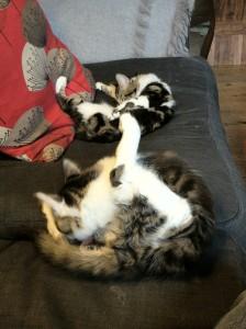 kittens post-neutering
